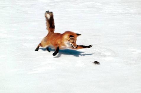 raposa.jpg